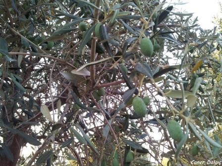 zeytin ağaçları..